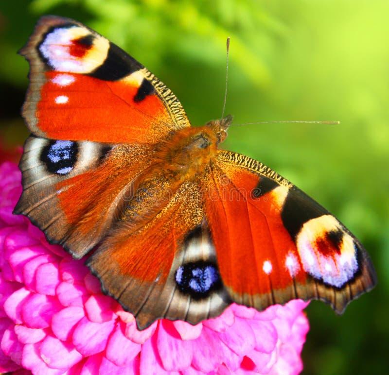 Guindineau sur une fleur photos libres de droits