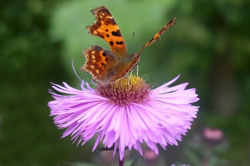 Guindineau sur une fleur image stock