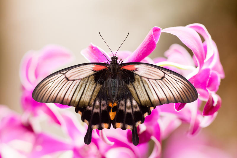 Guindineau tropical asiatique de Swallowtail aspirant le nectar image stock