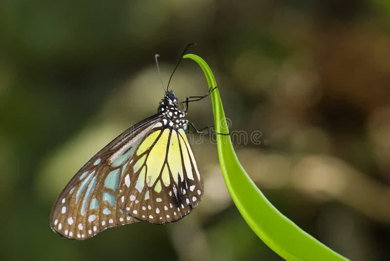 Guindineau vitreux jaune de tigre photos stock