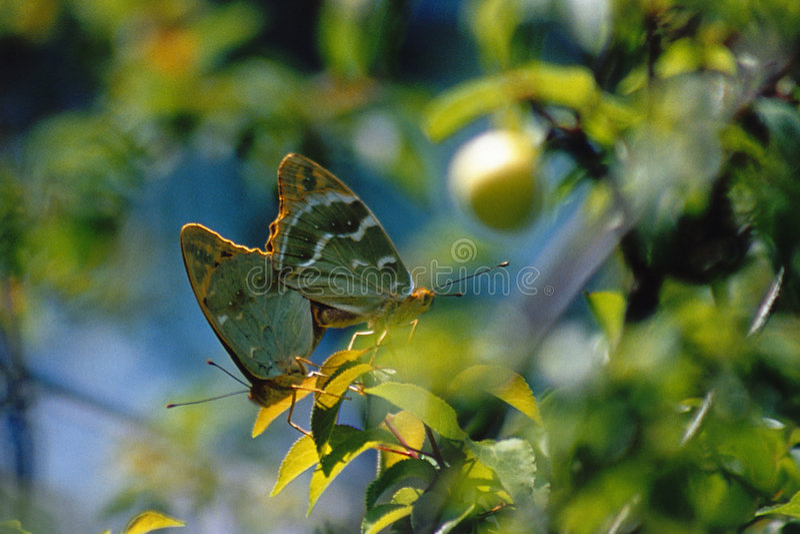 Download Guindineaux photo stock. Image du couples, bulgaria, insecte - 66286