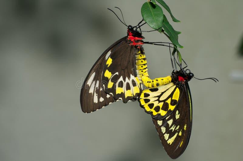 Guindineaux de Birdwing de cairns images libres de droits