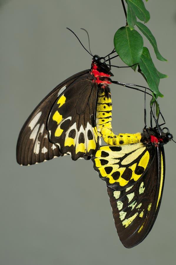 Guindineaux de Birdwing de cairns photo stock