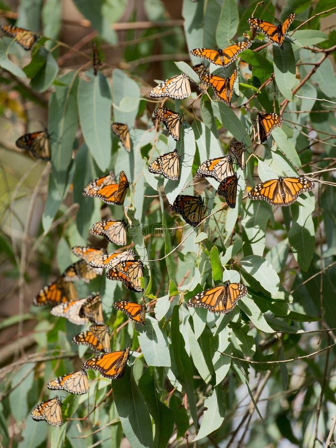 Guindineaux de monarque (plexippus de Danaus) images stock