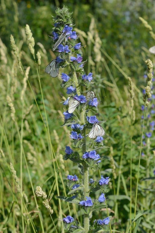 Guindineaux sur des fleurs images stock