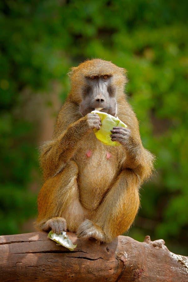 Guinea babian, Papiopapio, apa från Guinea, Senegal och Gambia Löst däggdjur i naturlivsmiljön Matande frukter för apa i th fotografering för bildbyråer