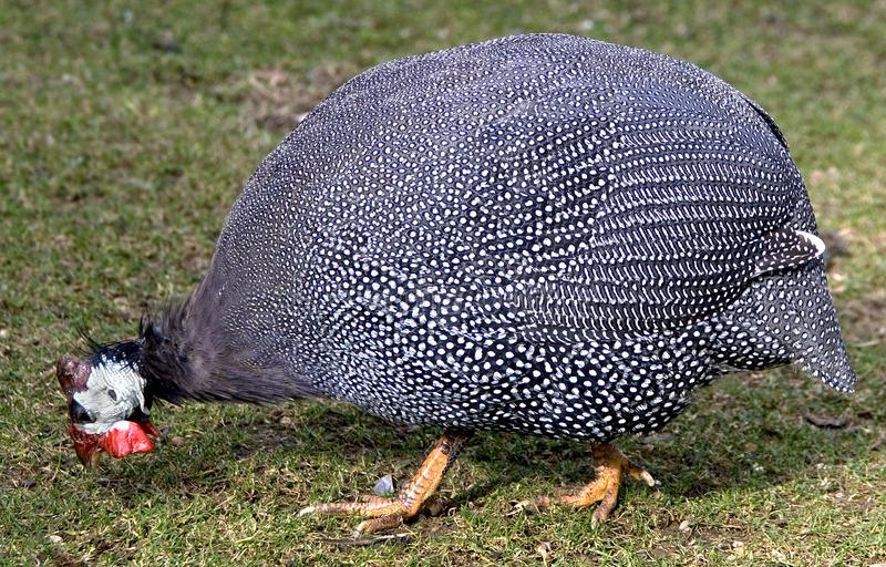Download Guinea fowl 1 stock photo. Image of beak, view, species - 22554074