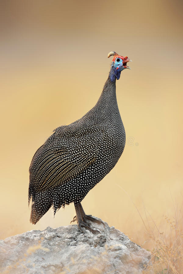 Guinea-fowl perched on a rock royalty free stock photography