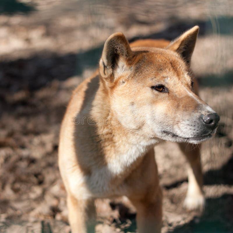 Guinea-Gesang-Hund stockbild