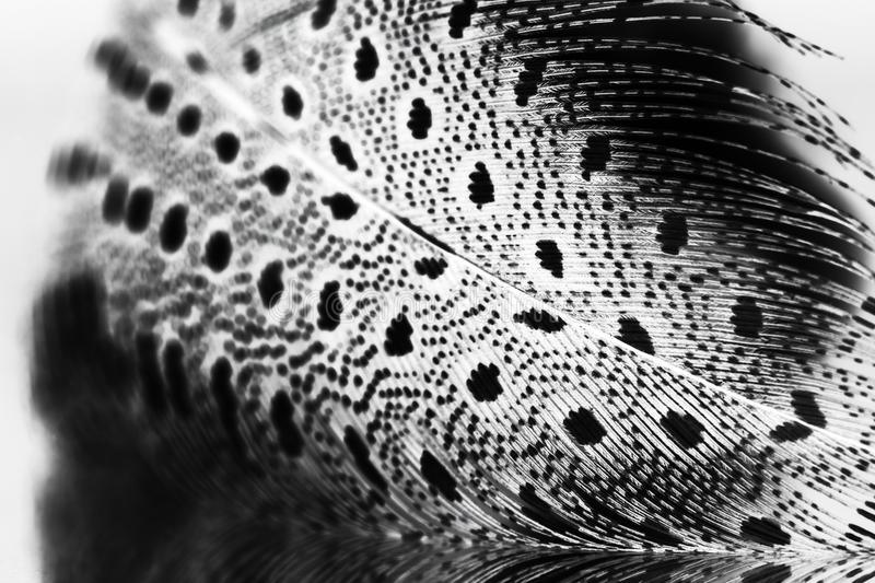 Guinea hen feather. With light grey background stock image