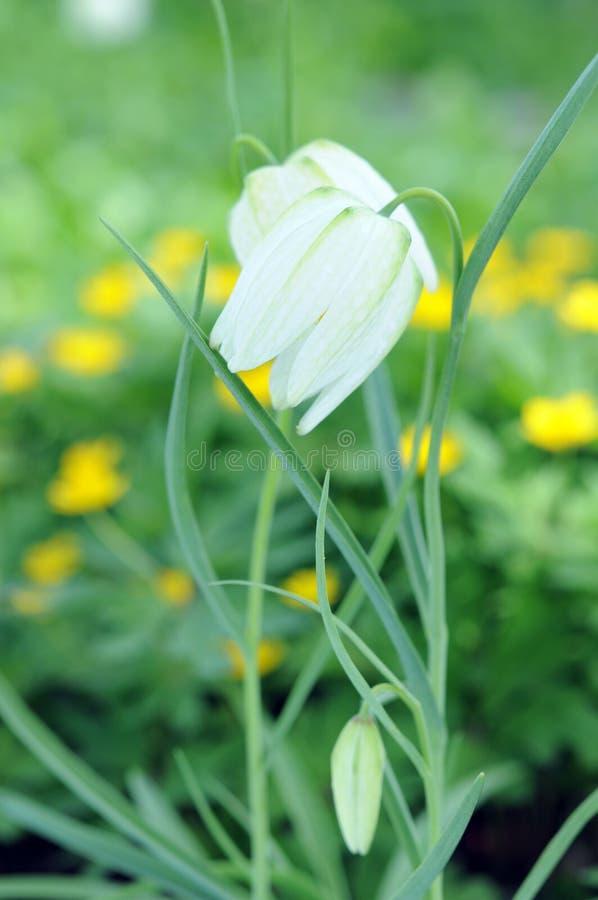 Guinea-hen flower. White Guinea-hen flower in garden under sunshine royalty free stock photo