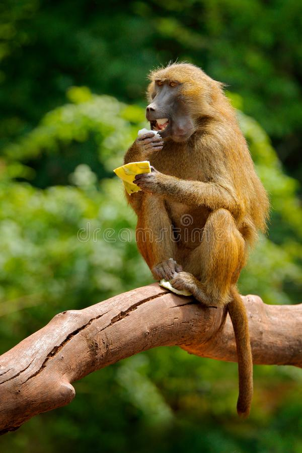 Guinea-Pavian, Papio Papio, Affe von Guinea, Senegal und Gambia Wildes Säugetier im Naturlebensraum Fütterungsfrüchte des Affen i lizenzfreies stockfoto