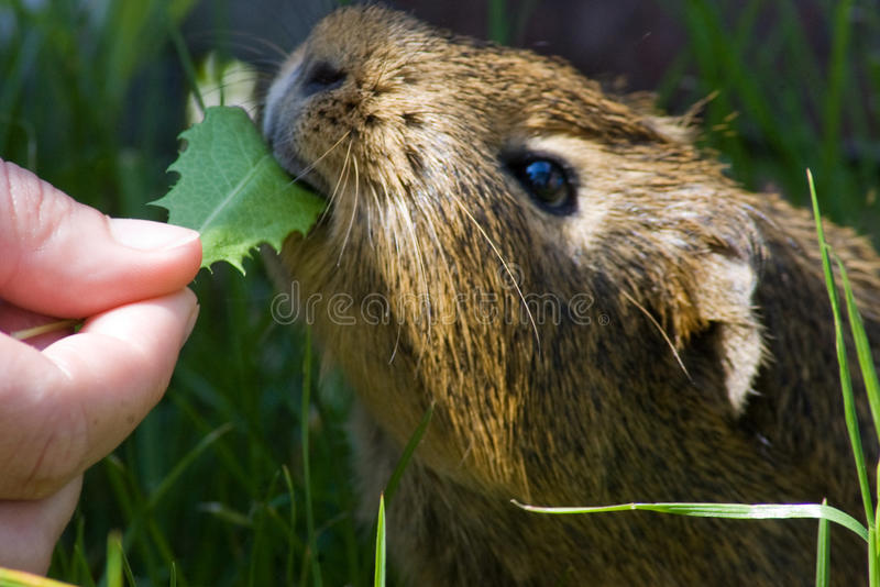 The guinea pig stock images