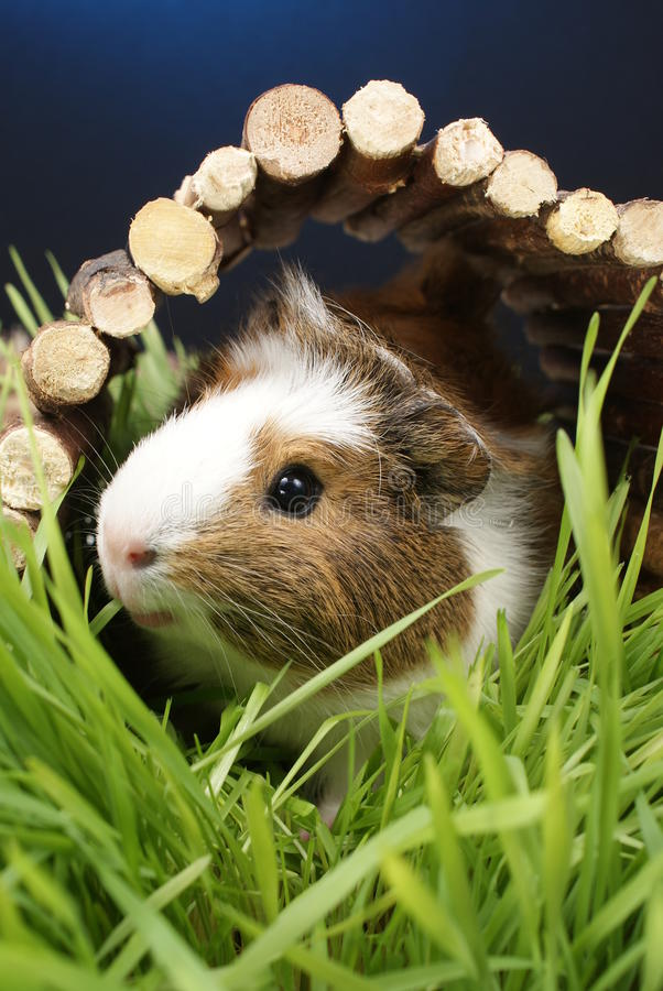 Free Guinea Pig Stock Photo - 13206360