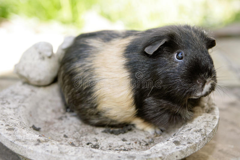 Download Guinea pig stock image. Image of button, guinea, eyes - 14749253