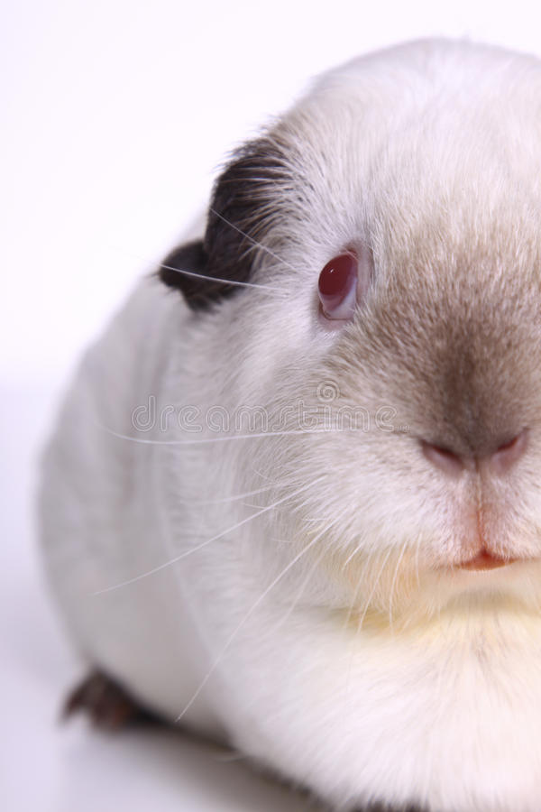 Download Guinea Pig stock image. Image of creature, furry, guinea - 16060201