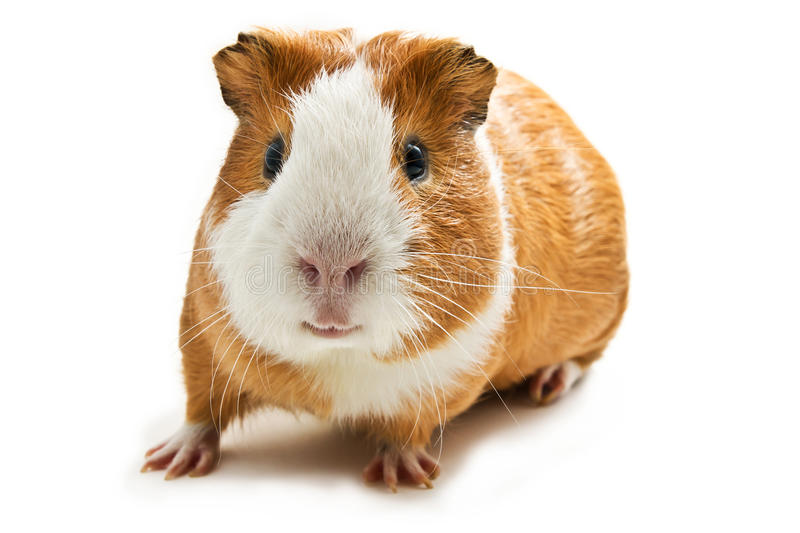 Download Guinea pig stock image. Image of image, horizontal, animal - 16229823