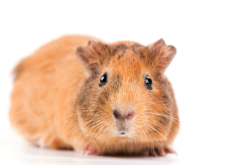 Download Guinea pig stock image. Image of cavie, macro, color - 19001557