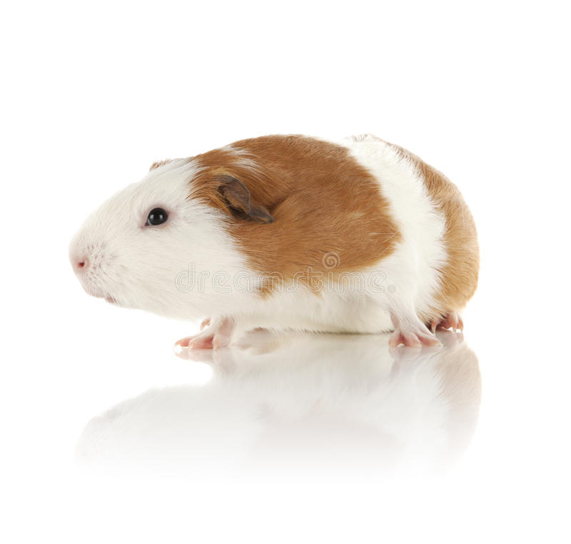 Download Guinea Pig stock photo. Image of children, animals, squeek - 24134358