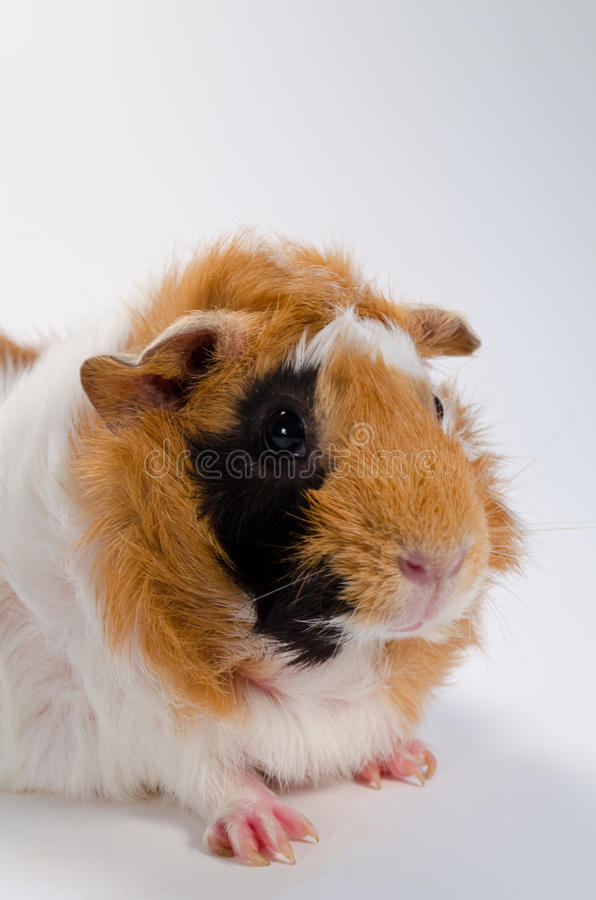 Guinea Pig. On the white background royalty free stock photography