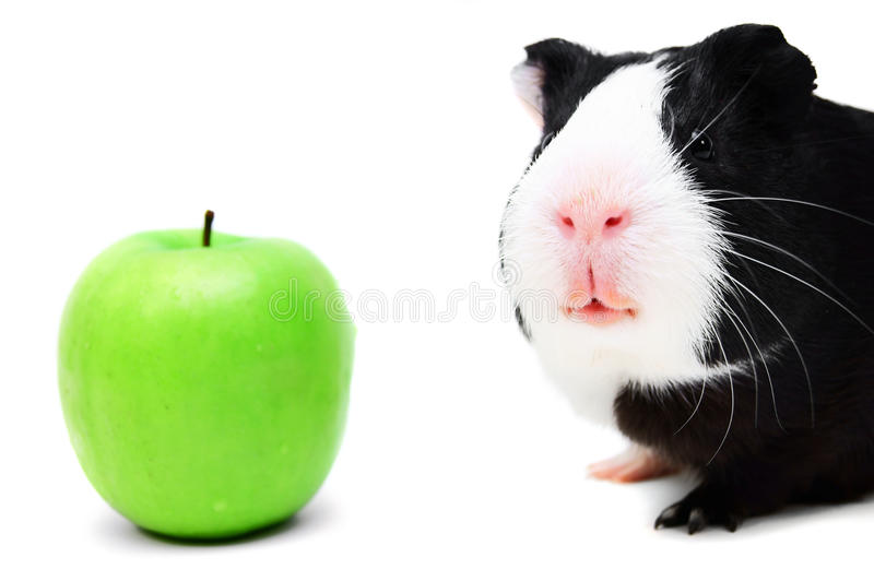 Download Guinea pig . stock photo. Image of background, guinea - 26800714