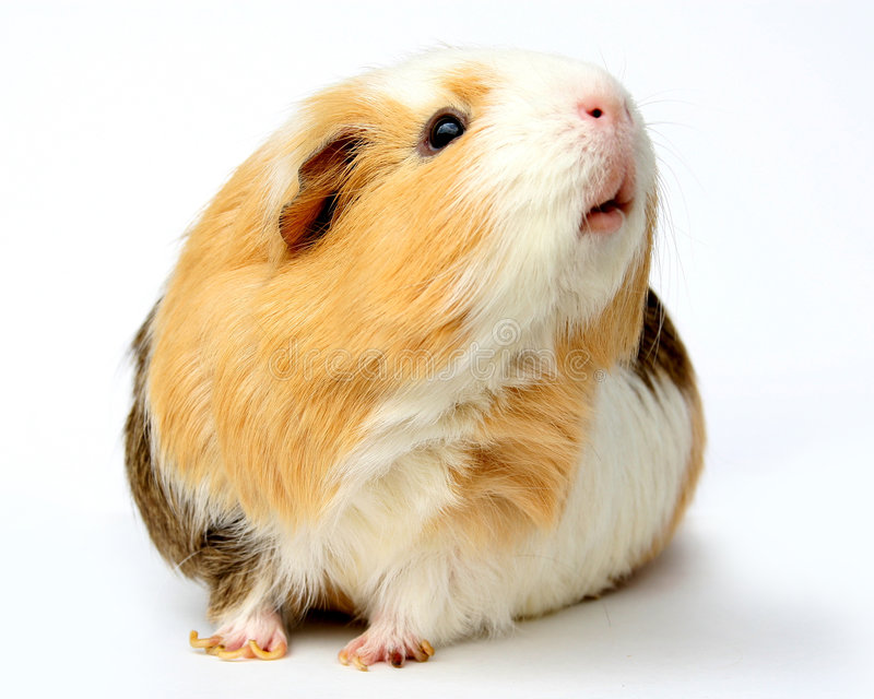 Download Guinea Pig stock image. Image of nose, portrait, rodent - 2782331