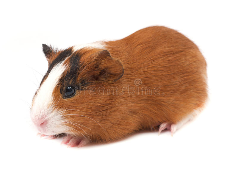 Download Guinea Pig Stock Photo - Image: 27940140