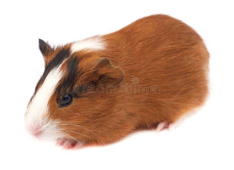 Guinea Pig Stock Photography