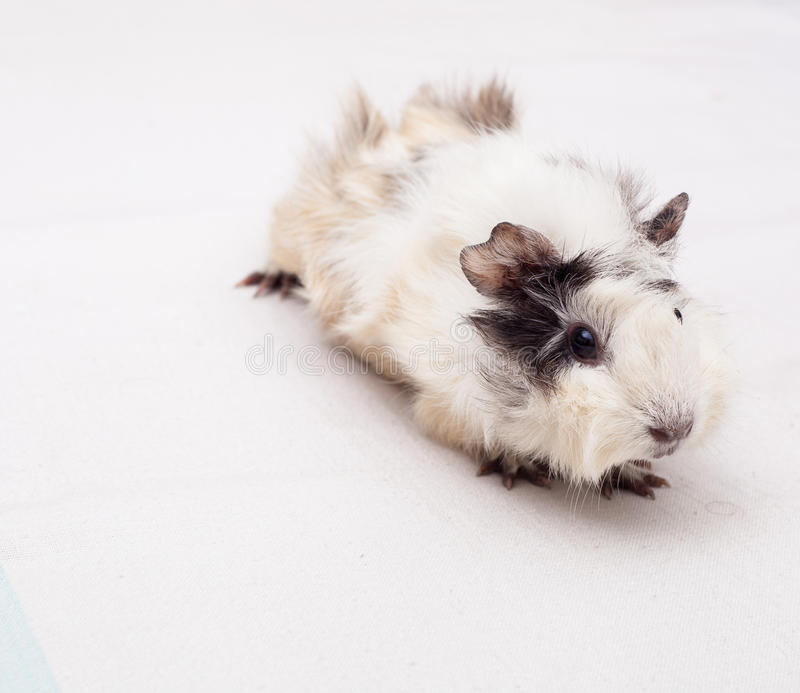 Download Guinea Pig Royalty Free Stock Photography - Image: 29093677