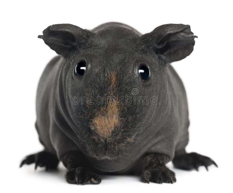 Download Guinea pig, 3 years old stock image. Image of indoors - 20252883