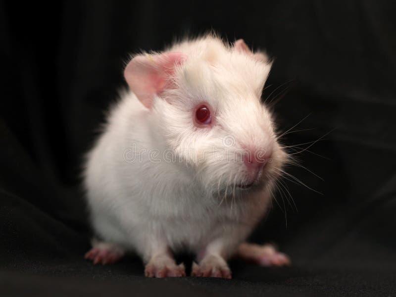 Guinea-pig stock photo