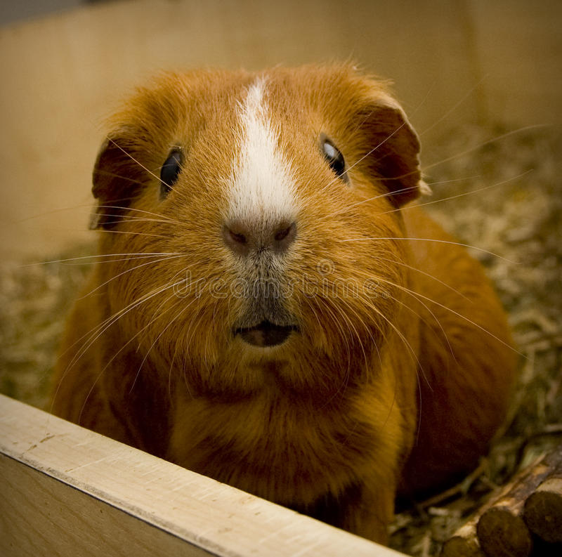 Free Guinea Pig Stock Images - 44916484