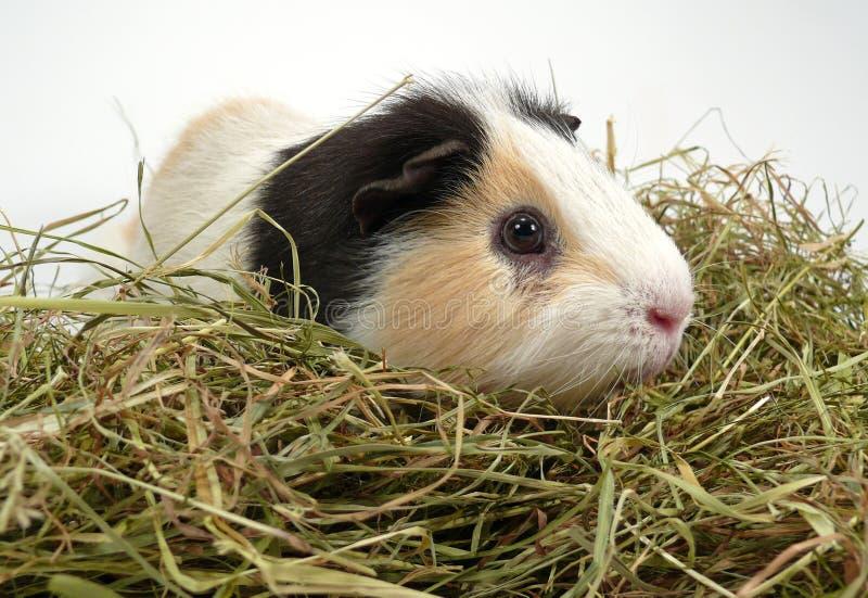 Download Guinea Pig stock photo. Image of haystack, nest, animal - 7333238