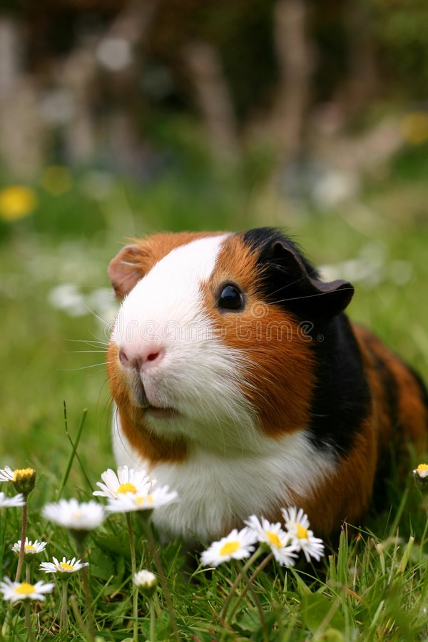 Guinea pig. A guinea pig or cavy sitting in a spring field with flowers