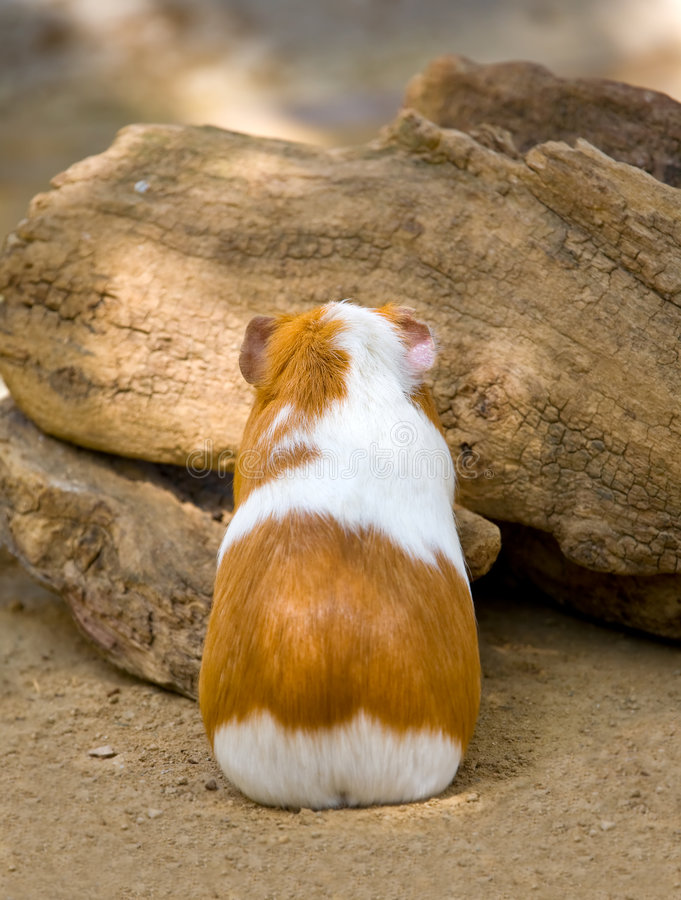 Guinea pig with back turned stock photo image of