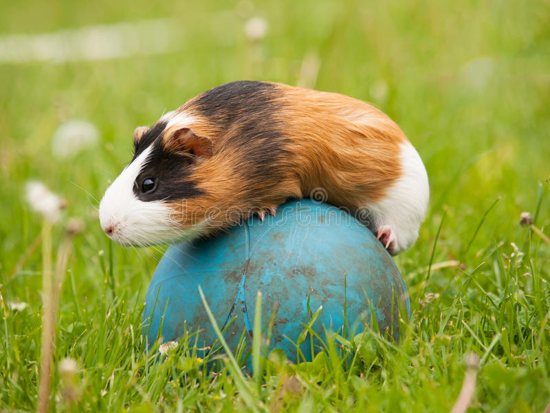 Guinea pig on the ball. Guinea pig pet balancing on the ball stock images