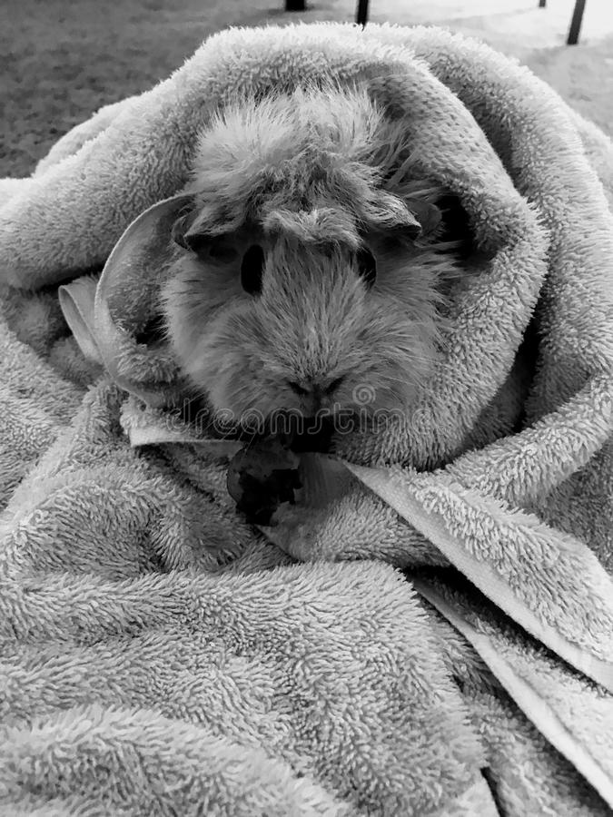 Guinea pig in black and white stock image