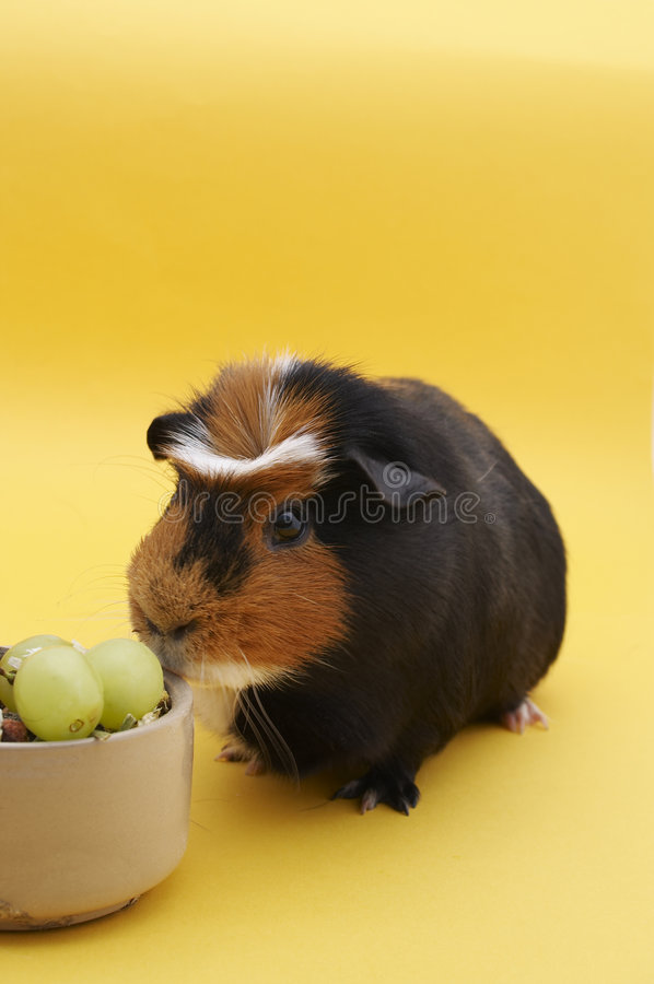 Guinea Pig with bowl stock image