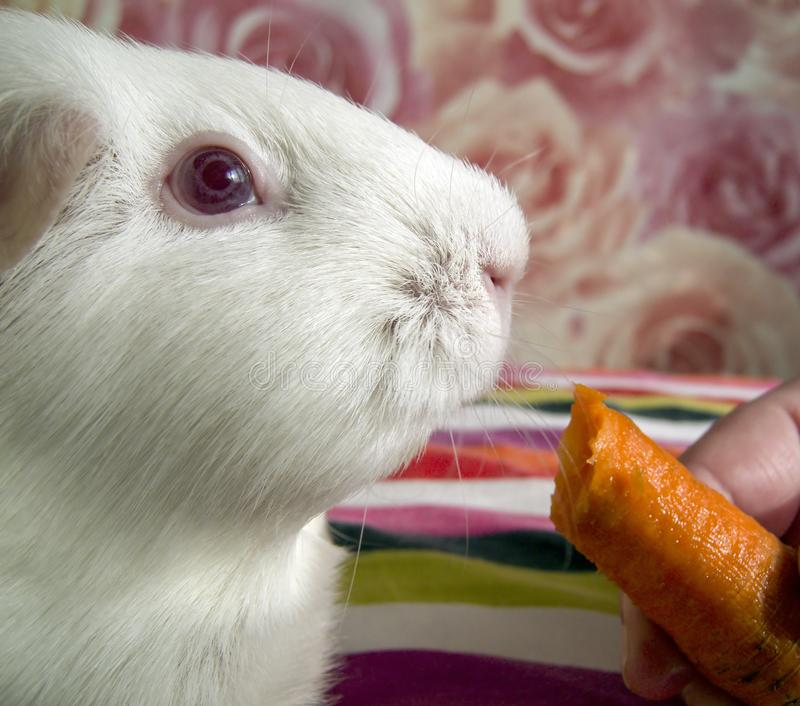 Cavy, Guinea Pig With Vegetables Stock Photo