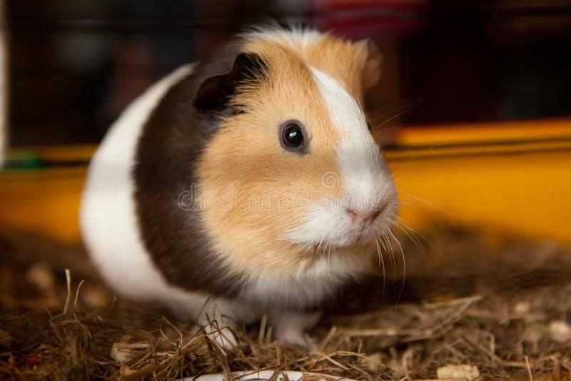 Guinea pig, Cavia porcellus, popular household pet. Guinea pig (Cavia porcellus) is a popular household pet stock images