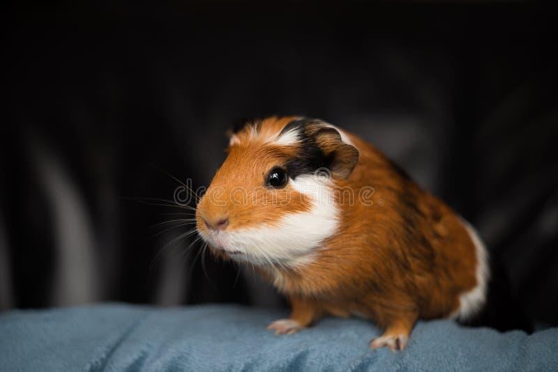 Guinea pig Cavia porcellus, popular household pet. Guinea pig Cavia porcellus is a popular household pet royalty free stock image