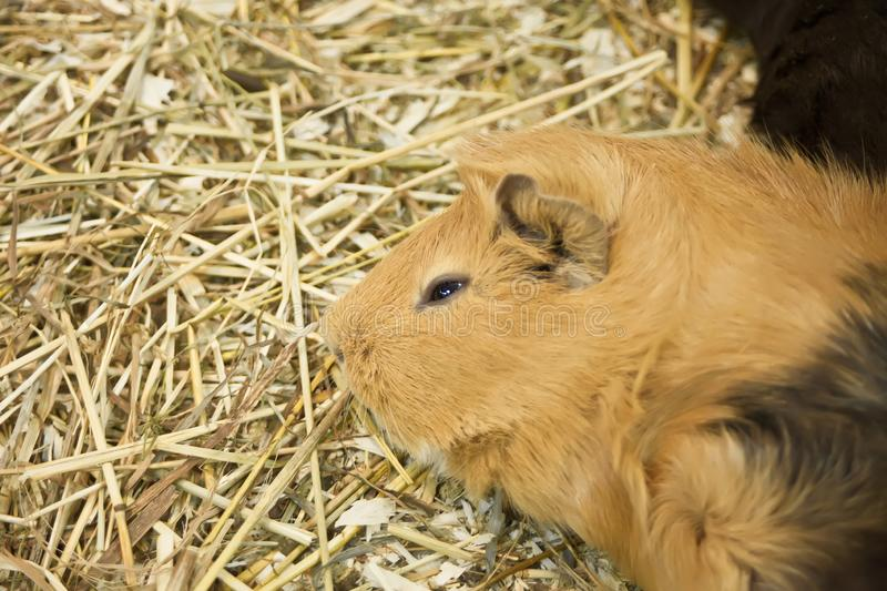 Guinea pig Cavia porcellus is a popular household pet. Sleepy guinea pig on straw royalty free stock photos