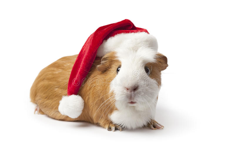 Guinea Pig with Christmas hat royalty free stock photos