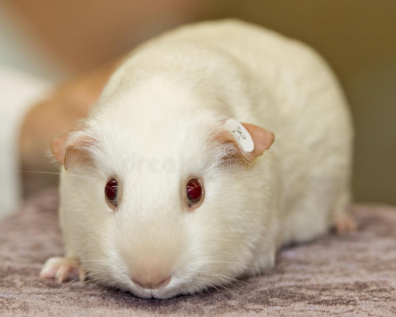 Guinea pig close up stock images