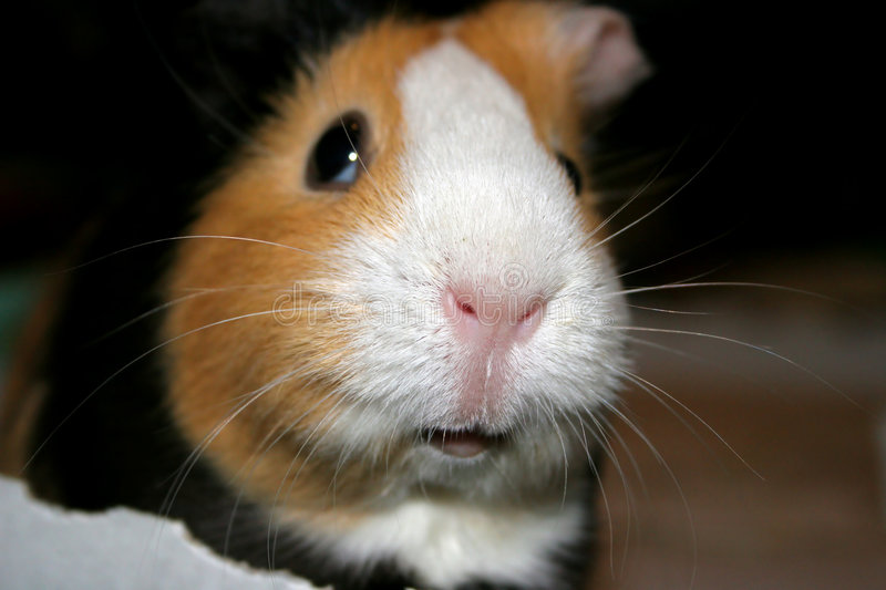 Download Guinea Pig Closeup stock photo. Image of muzzle, rodent - 168586