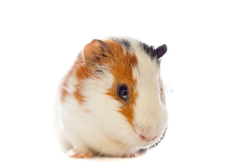 Guinea Pig Closeup Isolated Stock Photo