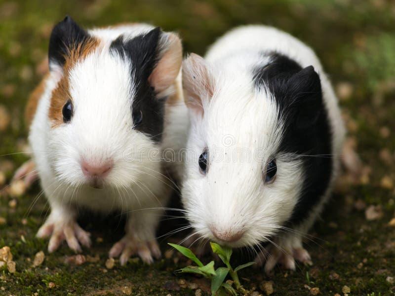 Guinea pig closeup stock image