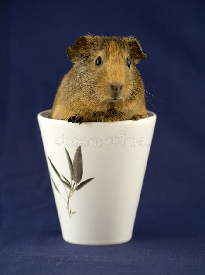 Guinea pig in a cup stock image
