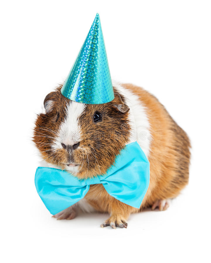 Guinea Pig Dressed For Birthday Party royalty free stock photography