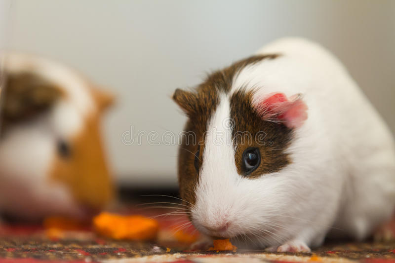 Guinea pig eating. A brown and white guinea pig eating royalty free stock photo